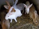 Lapin / lapine fermier à finir d