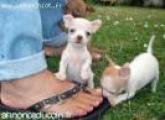 impecables chiots chihuahua disponible .