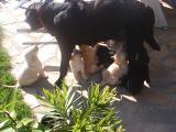 a reserver chiots labrador