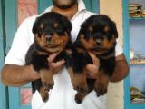 Mignons Chiots Rottweilers