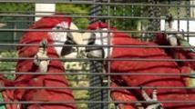 Magnifique couple ara chloroptère EAM