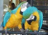 jolie couple perroquet aras bleur et or pour adoption