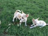 2 Chiots de race Chihuahuas contre bon soin.