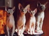 adorable chaton sphynx pour vous