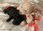 Chiot Labrador mâle noir LOF