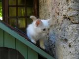 Adorable chaton sacre de birmanie cream LOOF
