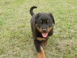 chiots type beauceron
