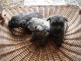 à réserver 2 chiots male cairn terrier