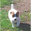 Adorable chiots Jack Russel