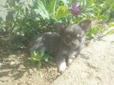 Chiot type Chihuahua Blue and tan poils long non lof
